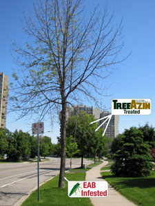 treated vs. untreated ash trees