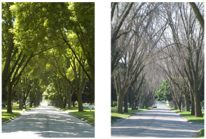 Untreated ash trees in 2006 and 2009, Toledo Ohio.  Photo by Daniel Herms