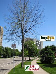 treated vs. untreated ash trees